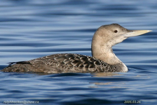 550px-Yellow-billed_Loon
