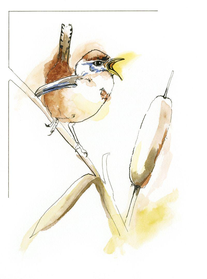 Marsh Wren-4x6size